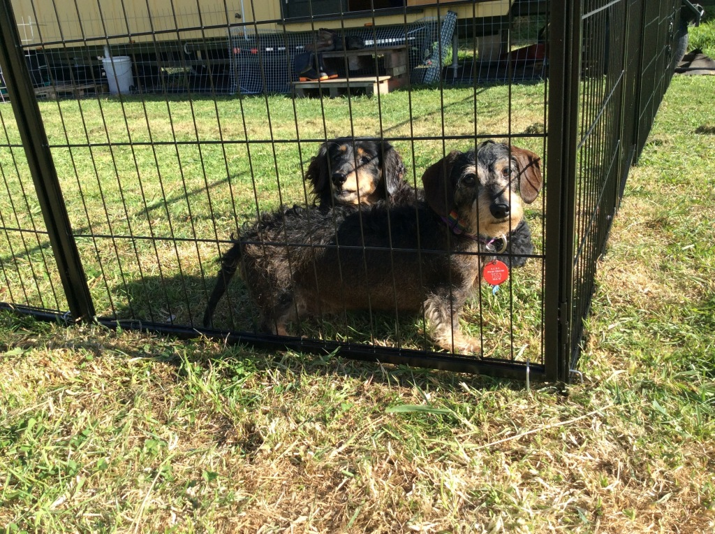 Fenced dogs